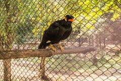 Le myna ou le mynah est un oiseau de l'indigène de famille d'étourneau en Asie du sud Photo stock