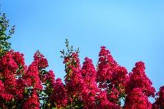 Le myrte de crêpe rose fleurit contre un ciel bleu clair Images libres de droits