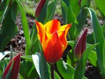 Le Néerlandais a flambé la fleur rouge et jaune de tulipe photographie stock libre de droits