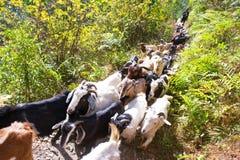 Le Népal - 2 janvier 2017 : : les chèvres de montagne marche au bâti Photographie stock