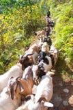 Le Népal - 2 janvier 2017 : : les chèvres de montagne marche au bâti Images stock
