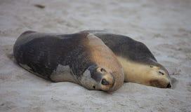 Le?n marino australiano de los pares lindos, Neophoca cinerea, durmiendo en la playa en la bah?a del sello, isla del canguro, sur imágenes de archivo libres de regalías