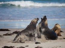 Le?n marino australiano, Neophoca cinerea, en la playa en la bah?a del sello, isla del canguro, sur de Australia, Australia fotografía de archivo libre de regalías