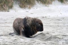 Le?n marino en la playa Fotos de archivo libres de regalías