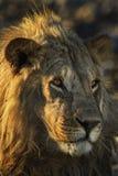 Le?n - Panthera leo imagen de archivo