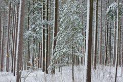 leśna sosnowa zimy. Zdjęcie Royalty Free