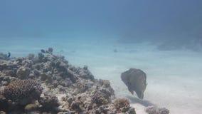 Le napoléon de poissons nage autour d'un récif coralien banque de vidéos