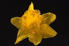 Le narcisse jaune d'isolement sur un fond noir Plan rapproché 2 Photographie stock libre de droits