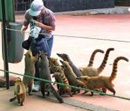 Le Nasua est un genre dans le Procyonidae de famille, dont les membres les plus connus sont des ratons laveurs photographie stock