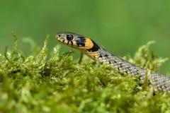 Le natrix de Natrix de serpent d'herbe dans la République Tchèque images stock