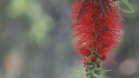 Le nectar d'abeilles de vol à l'arbre de brosse de bouteille fleurit HD banque de vidéos