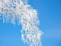le Neige-gel a couvert la branche du bouleau Photographie stock libre de droits