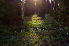 Le nemorosa blanc d'anémone fleurit au printemps la forêt sur des rayons du soleil images stock