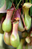 Le Nepenthes, mangent la fleur d'insecte Photos libres de droits