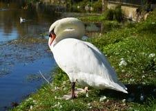 Le nettoyage blanc de cygne fait varier le pas sur le champ sous des rayons de soleil Photographie stock libre de droits