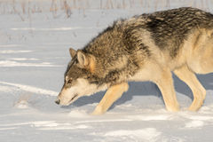 Le nez de lupus de Grey Wolf Canis va vers le bas à gauche Image stock