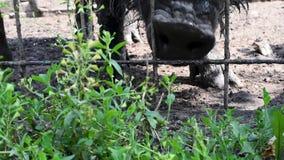 Le nez du ` s de verrat par les barres qui mangeraient l'herbe délicieuse verte banque de vidéos