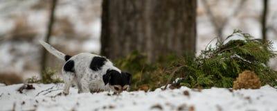 Le nez tricolore de race de Jack Russell Terrier suit une voie pendant l'hiver neigeux images libres de droits