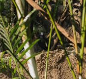Le nicobarica de Caloenas de pigeon de Nicobar regarde un certain mince photographie stock libre de droits
