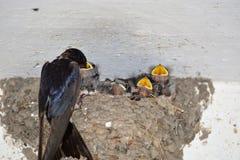 Le nid d'hirondelles Photos stock