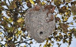 Le nid d'un Hornest Photos libres de droits