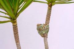 Le nid d'une femelle Éclatant-s'est gonflé le colibri vert, Chlorostilbon Lucidus, Brésil image libre de droits