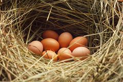 Le nid d'une poule avec des oeufs frais image stock