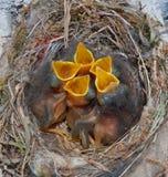 Le nid de l'oiseau avec les poussins affamés photographie stock