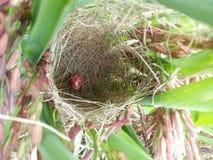 Le nid de l'oiseau dans le champ de maïs Thaïlande Photo stock