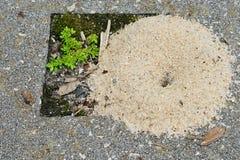 Le nid de la fourmi fait par le sable blanc Photos libres de droits