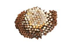 Le nid de la guêpe, Asie a isolé sur le fond blanc image libre de droits
