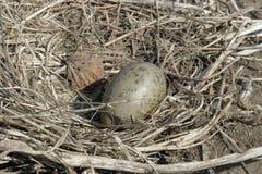 Le nid de mouettes photo libre de droits