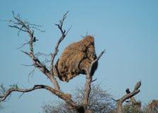 Le nid des oiseaux communaux de tisserand Photo stock