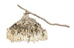Le nid du frelon avec la brindille d'isolement sur le blanc Photos libres de droits