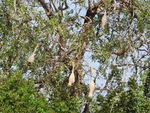 Le nid du frelon dans l'arbre vert, la jungle de Sri Lanka photo stock