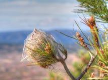 Le nid du pin dangereux processionary (pityocampa de Thaumetopoea) en Espagne Image libre de droits