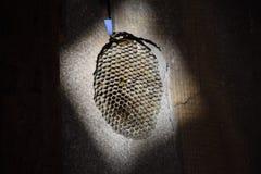 Le nid est tremble, polist le nid de tremble à la fin de la saison d'élevage Photo libre de droits
