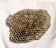 Le nid est tremble, polist le nid de tremble à la fin de la saison d'élevage Actions de miel en nids d'abeilles Miel d'Aspen Vesp Photographie stock