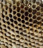 Le nid est tremble, polist le nid de tremble à la fin de la saison d'élevage Actions de miel en nids d'abeilles Miel d'Aspen Vesp Photos stock