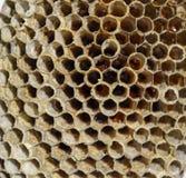 Le nid est tremble, polist le nid de tremble à la fin de la saison d'élevage Actions de miel en nids d'abeilles Miel d'Aspen Vesp Photos libres de droits