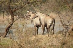Le nilgai ou le taureau bleu, tragocamelus de Boselaphus, Inde Photos libres de droits