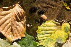 Le nocciole sono caduto in un fiume, foglie in un fiume Fotografia Stock