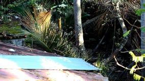 Le noci di cocco del tetto e del taglio della Camera cadono giù su terra in giardino video d archivio