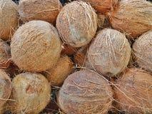 Le noci di cocco domenicane hanno selezionato direttamente dalla palma fotografia stock