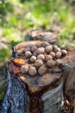 Le noci di Inshell si trovano sul ceppo all'aperto fotografia stock