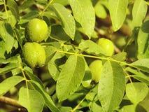 Le noci verdi maturano sul ramo dell'albero con le foglie verdi Fotografia Stock