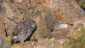 Le noctua d'Athene de petit hibou de jeunes tient sur les pierres naturelles près de leur trou banque de vidéos