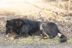 Le noir allemand de chien en couleurs mange vieil Apple au sol font du jardinage au printemps Images stock