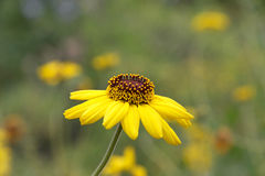 Le noir de vue de côté a observé la fleur de Susan dans le pré photographie stock