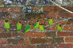 Le noir a fait face à des lovebirds (les nigrigenis d'Agapornis) Images libres de droits